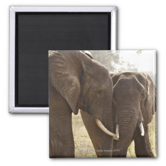 Two African Bush Elephants (Loxodonta Africana) Square Magnet