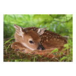 Two day old White-tailed Deer baby, Kentucky. Photographic Print