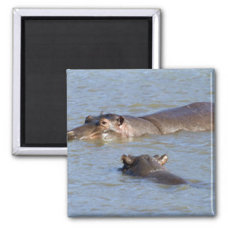 Two hippos in a river, Kruger National Park, Square Magnet