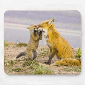 USA, Colorado, Breckenridge. Red fox mother 2 Mouse Pad