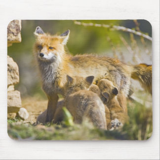 USA, Colorado, Breckenridge. Red fox mother 3 Mouse Pad