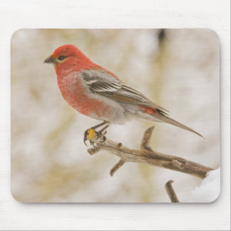 USA, Colorado, Frisco. Male pine grosbeak Mouse Pad