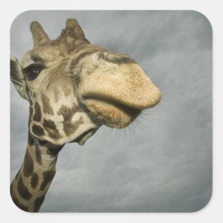 USA, Texas, Fossil Rim Wildlife Area, giraffe Square Sticker