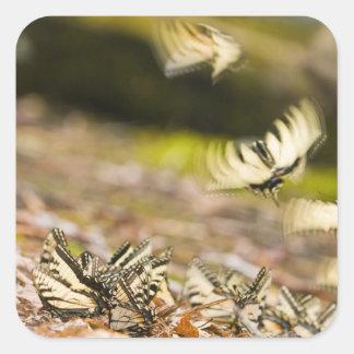 USA, TN, Tellico. Swallowtail butterflies Square Sticker