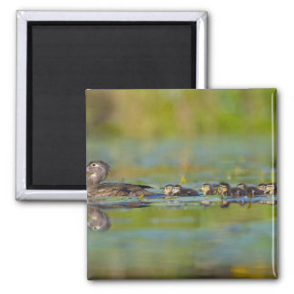 USA, Washington State, Wood Duck,female, Square Magnet