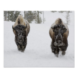 USA, WY, Yellowstone NP, American Bison (Bison Poster