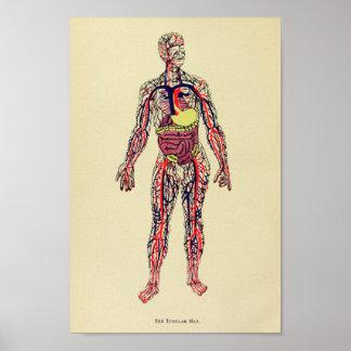 Vintage 1920 Organ Anatomy Art Print