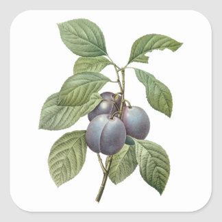 Vintage Food Fruit, Purple Garden Plums by Redoute Square Sticker