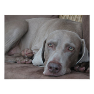 weimaraner dog beautiful photo poster print