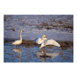 whistling swan, Cygnus columbianus, stretching Photo Art