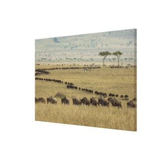White-bearded Wildebeest or Gnu, Connochaetes 2 Canvas Prints