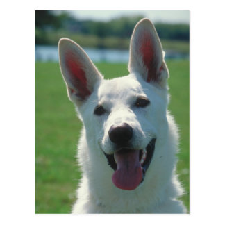 White German Shepherd Dog Postcard