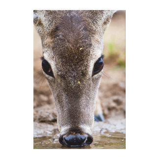 White-tailed Deer drinking water Gallery Wrapped Canvas