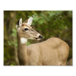 White Tailed Deer Photo Art