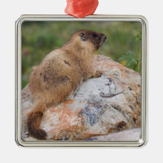 Yellow-bellied Marmot, Marmota flaviventris, Silver-Colored Square Decoration