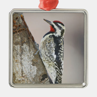 Yellow-bellied Sapsucker male feeding on sap Silver-Colored Square Decoration