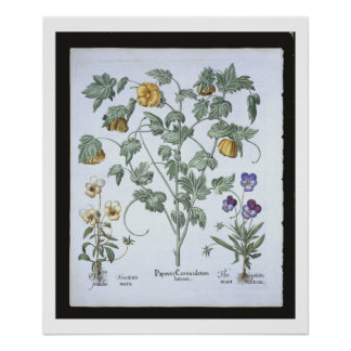 Yellow Horned Poppy, from the 'Hortus Eystettensis Poster