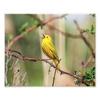 Yellow Warbler Singing Photo Print