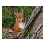 young red squirrel poster