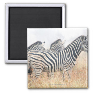 Zebras in early morning dust, Kruger National 2 Square Magnet